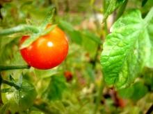 cherry-tomato
